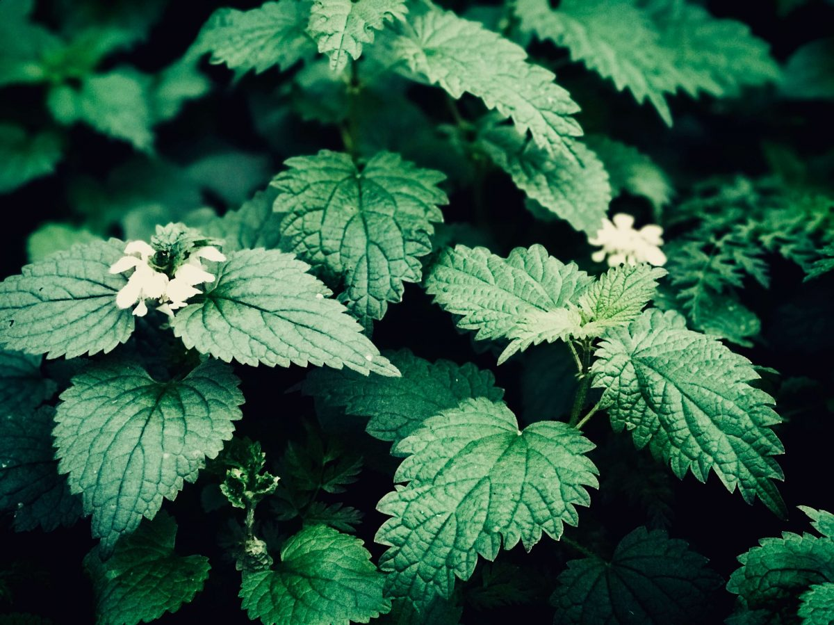 Nettle as a beneficial ingredient for hair